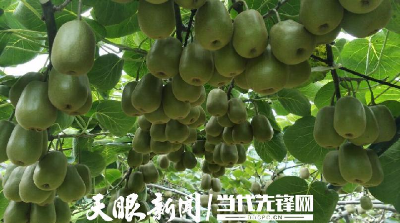 丰收节里话丰收:贵州猕猴桃洋溢幸福味道