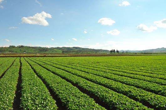 钟山区大桥坝区:四季蔬菜奔市场 坝区农户心欢畅