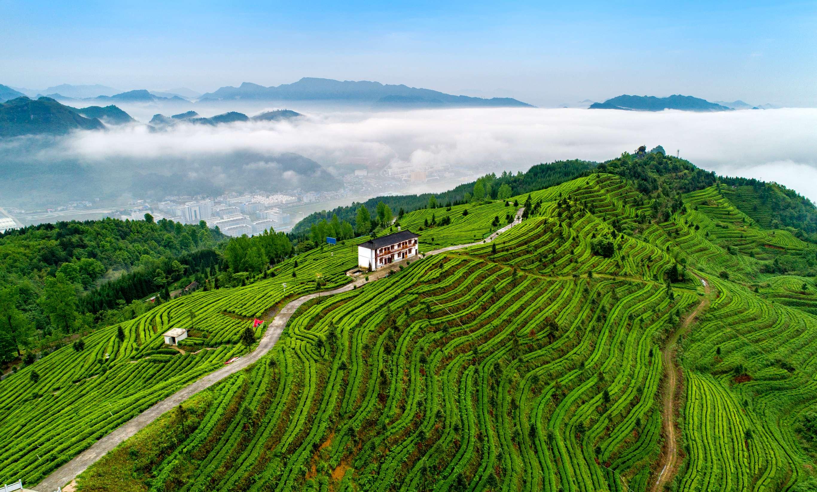 发展迅猛!贵州茶叶相关企业注册量近十年猛增653% 遵义居首