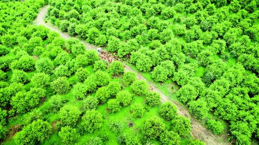 天柱油茶林下土鸡成群