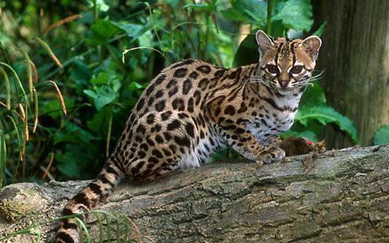 豹猫,图片来自网络。   科普小贴士:   豹猫,别名铜钱猫、石虎等,亚洲的猫科动物,体型略大于家猫。南方的豹猫为黄色,北方的则是银灰色。豹猫胸部及腹部是白色,斑点一般为黑色。主要栖息在山地林区、郊野灌木丛林等地。中国国家二级保护动物,因其数量稀少被列入《世界自然保护联盟》(IUCN)、《华盛顿公约》(CITES)、《中国濒危动物红皮书》易危级。