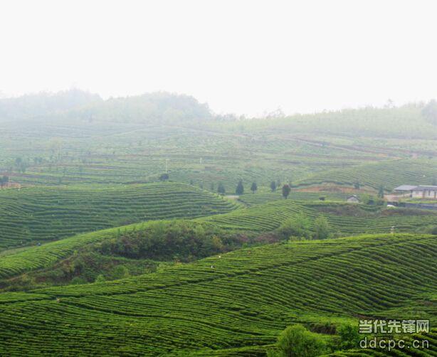 金沙县调整产业结构,把茶产业作为百姓致富的主