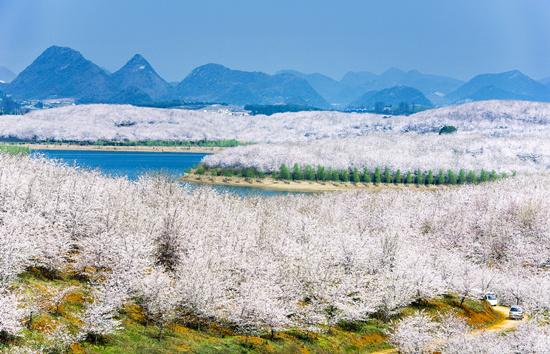 贵州樱花风景区在哪里