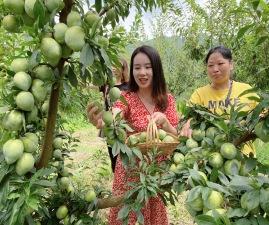 H5|贵州印江:水果飘香 等你来尝