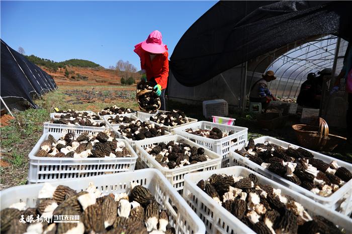 贵州威宁:羊肚菌迎来丰收季